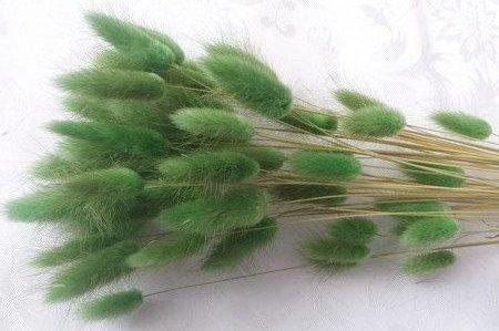 DMUSZEK JAJOWATY KOLOR ZIELONY ~55 szt. (Lagurus ovatus) ozdobna trawa suszona