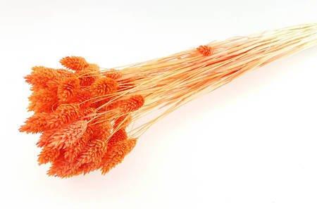 KANAR KOLOR JASKRAWOPOMARAŃCZOWY trawa ozdobna Phalaris canariensis mozga kanaryjska
