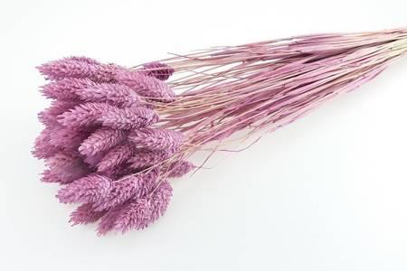 KANAR KOLOR JASNOWRZOSOWY trawa ozdobna Phalaris canariensis mozga kanaryjska