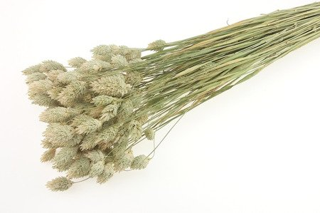 KANAR KOLOR NATURALNY niebarwiony trawa ozdobna Phalaris canariensis mozga kanaryjska