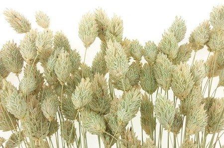 KANAR KOLOR NATURALNY pęk XL niebarwiony trawa ozdobna Phalaris canariensis mozga kanaryjska