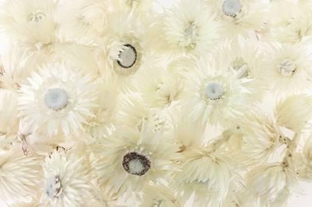 KOCANKA SUSZONA MIX BIAŁY (suchołuska, nieśmiertelnik, Helichrysum) kwiaty suszone suszki dekoracyjne