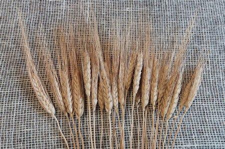 PSZENICA FRANCUSKA KOLOR NATURALNY zboże suszone pszenica z włosem kłosy zbóż formy ościstej