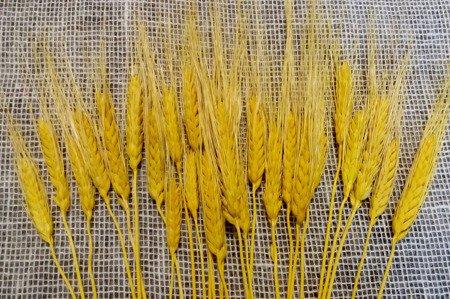 PSZENICA FRANCUSKA KOLOR ŻÓŁTY zboże suszone pszenica z włosem kłosy zbóż formy ościstej