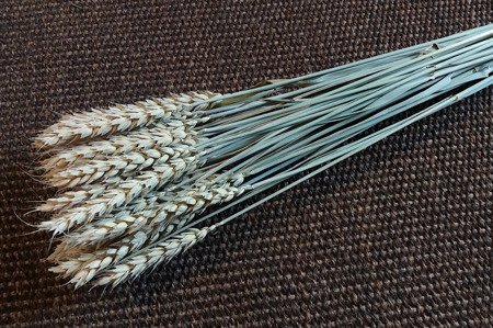 PSZENICA KOLOR NATURALNY zboże suszone niebarwione pęczek 50 cm