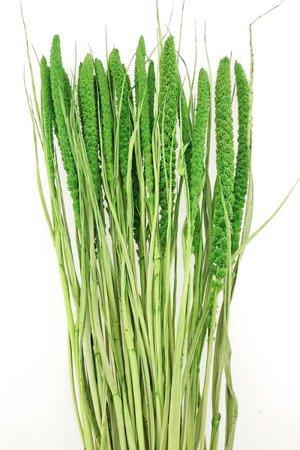 WŁOŚNICA KOLOR SOCZYSTOZIELONY średnie kłosy (setaria) trawa ozdobna na suche bukiety