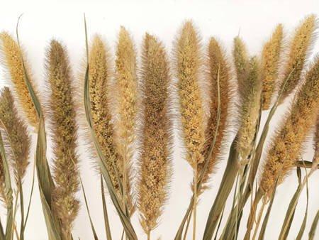 WŁOŚNICA WIELKOKŁOSOWA KOLOR NATURALNY KRÓTSZE KŁOSY (Setaria macrostachya) trawa ozdobna na suche bukiety